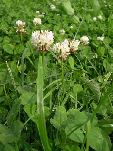 Kriechender Klee / Trifolium repens