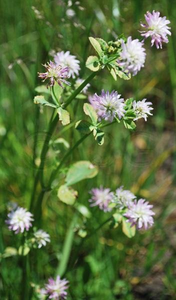 Reversed Clover / Trifolium resupinatum