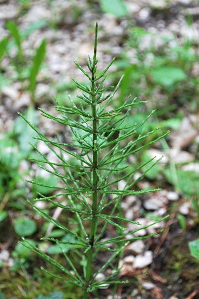Wiesen-Schachtelhalm / Equisetum pratense