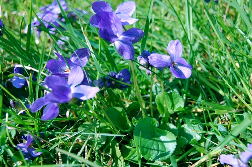 Wohlriechendes Veilchen / Viola odorata