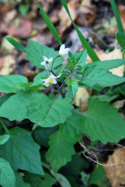 Zierlicher Nachtschatten / Solanum sublobatum, chenopodioides