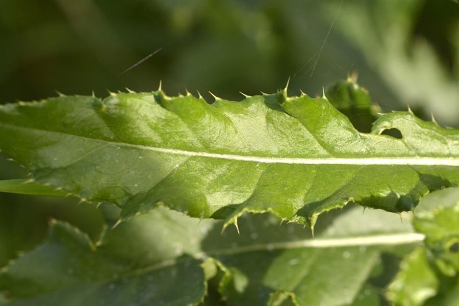 Creeping Thistle / Cirsium arvense