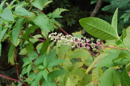 Amerikanische Kermesbeere / Phytolacca americana