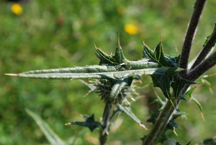 Gemeine Kratzdistel / Cirsium vulgare