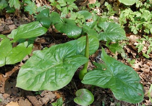 Gemeiner Aronstab / Arum maculatum