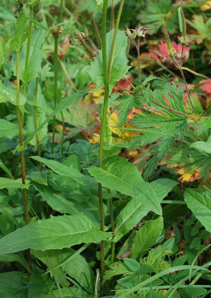Grossköpfiger Pippau / Crepis conyzifolia