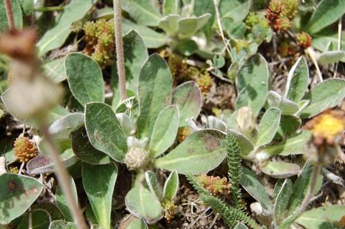 Mouse-ear Hawkweed / Hieracium pilosella