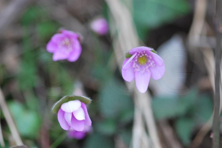 Leberblümchen / Hepatica nobilis