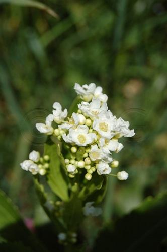 Raifort / Armoracia rusticana