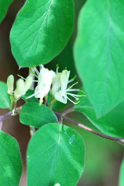 Rote Heckenkirsche / Lonicera xylosteum