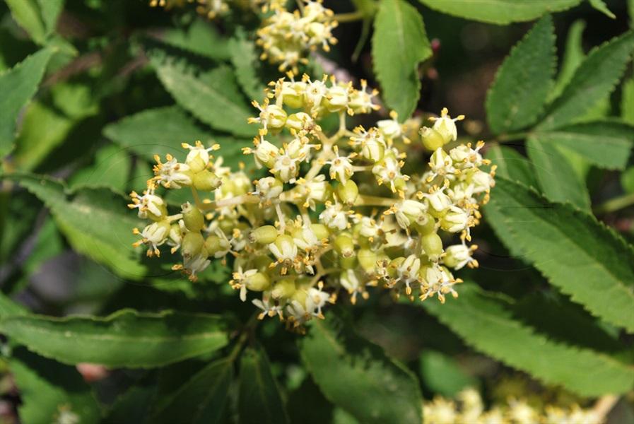 Sureau à grappes / Sambucus racemosa
