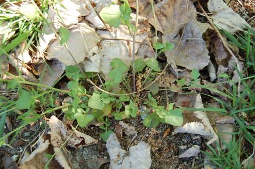 Gewöhnliche Sand-Schaumkresse / Cardaminopsis arenosa