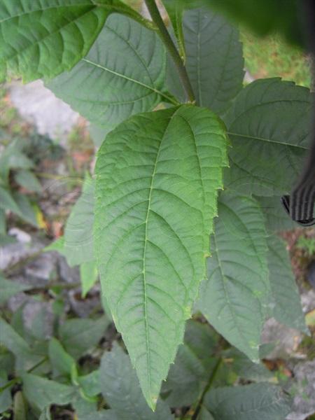 Topinambur / Helianthus tuberosus