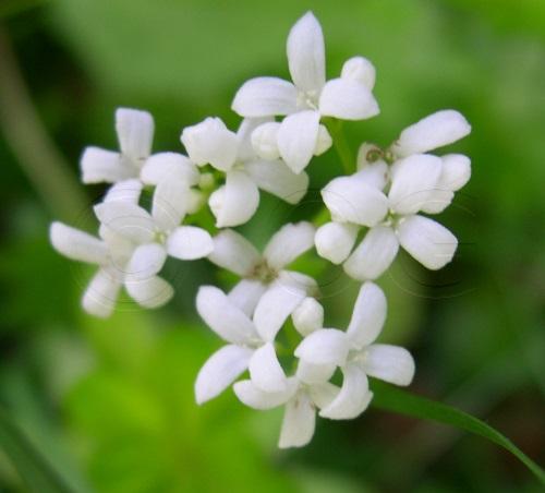 Echter Waldmeister / Galium odoratum