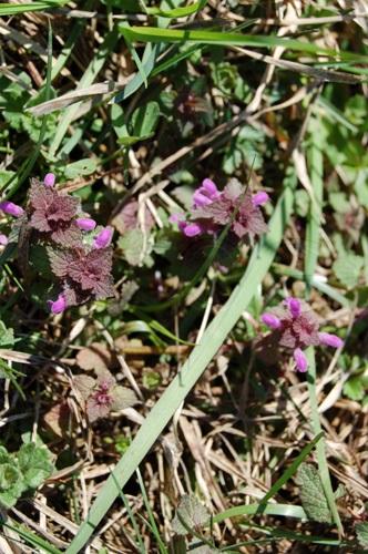 Purple Dead-Nettle / Lamium purpureum