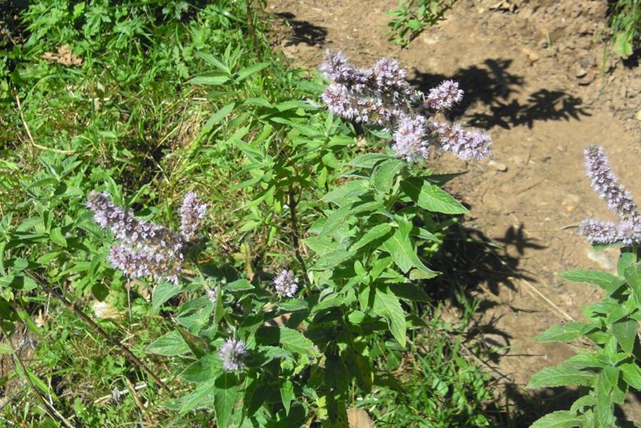 Spearmint / Mentha spicata