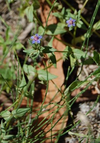 Mouron bleu / Anagallis foemina
