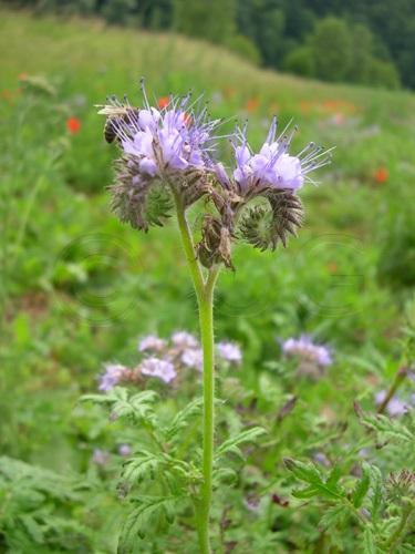 Büschelblume / Phacelia tanacetifolia