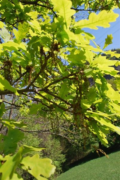 Flaum-Eiche / Quercus pubescens