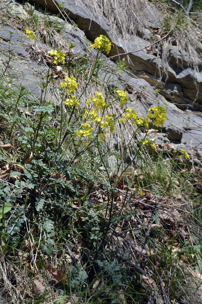 Roquette de Grance / Erucastrum gallicum