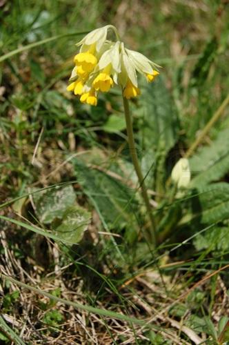 Frühlings-Schlüsselblume / Primula veris