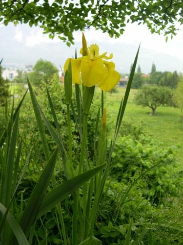 Iris jaune / Iris pseudacorus