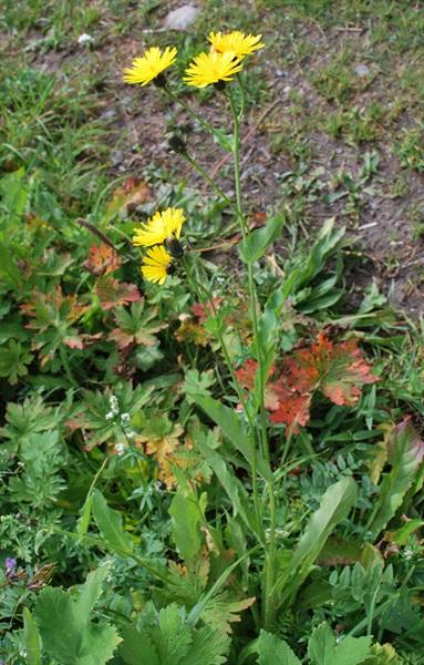 Crépide à grands capitules / Crepis conyzifolia