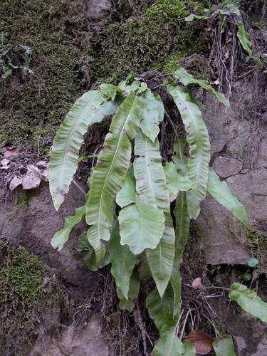 Hirschzunge / Phyllitis (Asplenium) scolopendrium