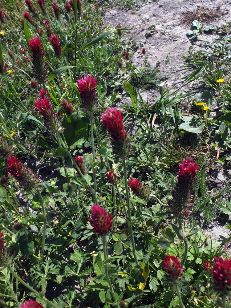 Trèfle incarnat / Trifolium incarnatum