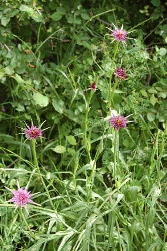 Salsifis, Salsifis à feuilles de poireau / Tragopogon porrifolius
