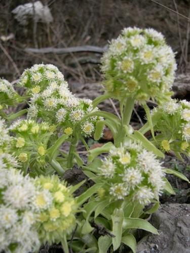 Farfaraccio bianco / Petasites albus