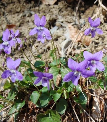 Hain-Veilchen / Viola riviniana
