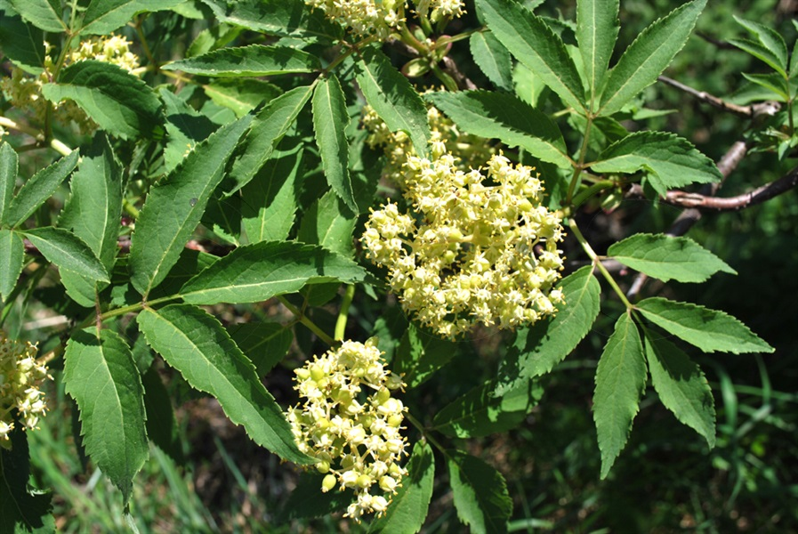 Sambucco rosso / Sambucus racemosa