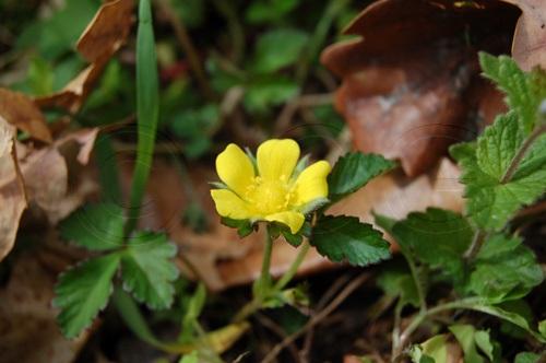 Scheinerdbeere (niederliegend) / Duchesnea indica