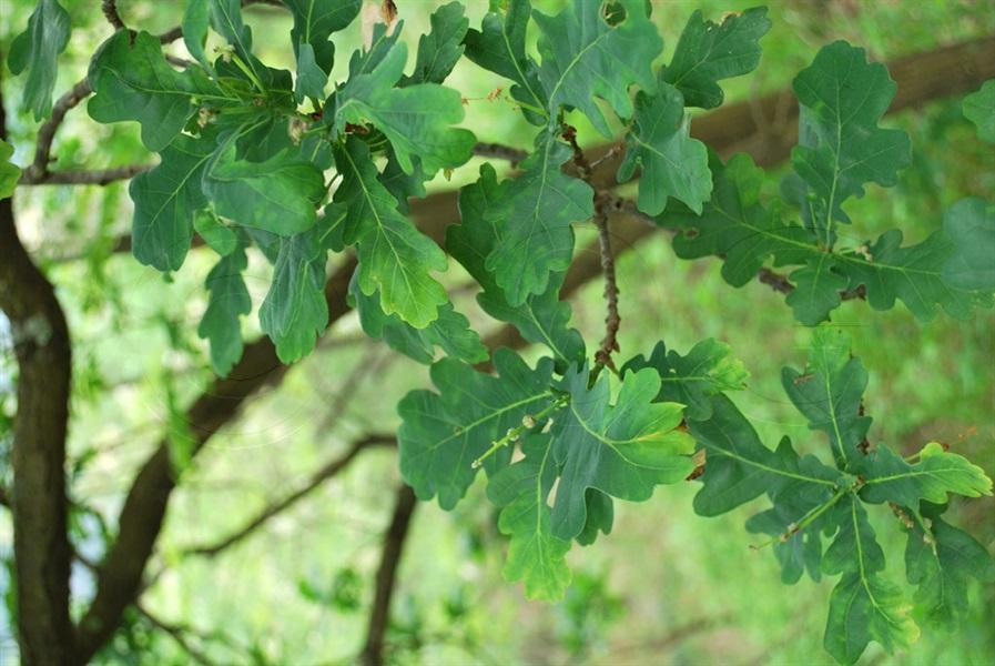 Stiel-Eiche / Quercus robur