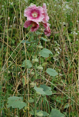Garten-Stockrose / Alcea rosea