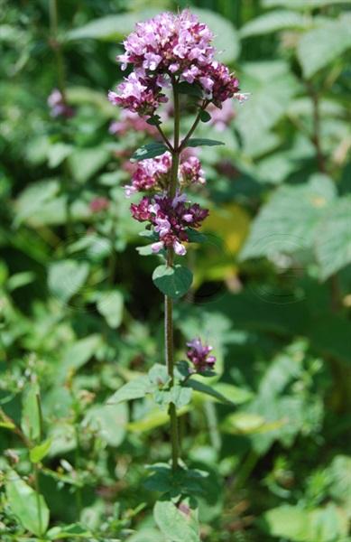 Large Thyme / Thymus pulegioides