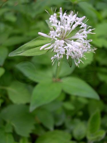 Aspérule de Turin / Asperula taurina