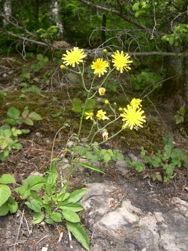 Wald-Habichtskraut / Hieracium murorum