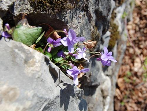 Viola silvestre / Viola reichenbachiana