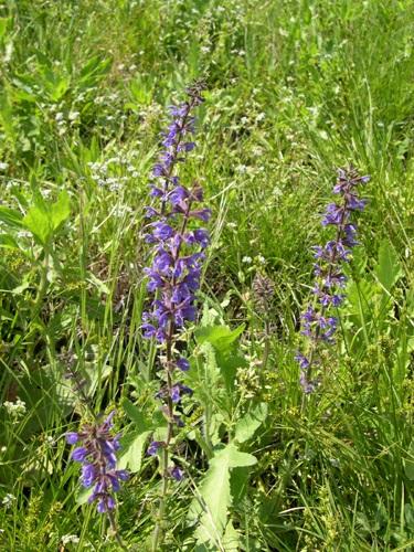 Sauge des prés / Salvia pratensis