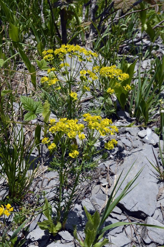 Zypressenblättrige Wolfsmilch / Euphorbia cyparissias