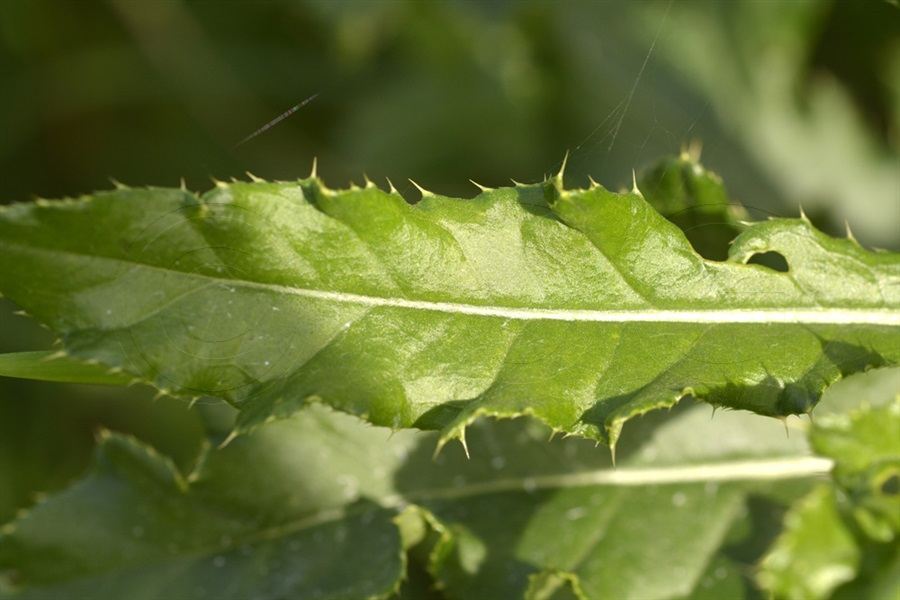 Acker-Kratzdistel / Cirsium arvense