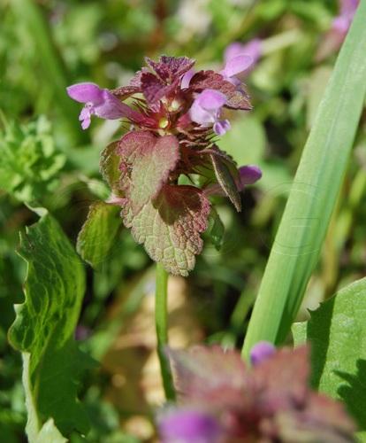 Lamier rouge / Lamium purpureum