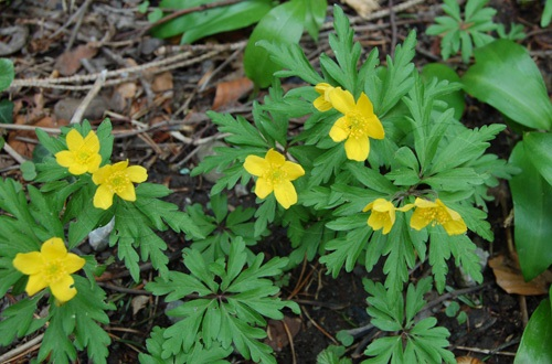 Anémone jaune / Anemone ranunculoides