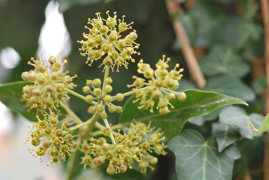 Ivy / Hedera helix