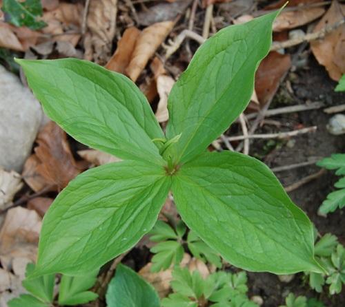 Parisette à quatre feuilles / Paris quadrifolia