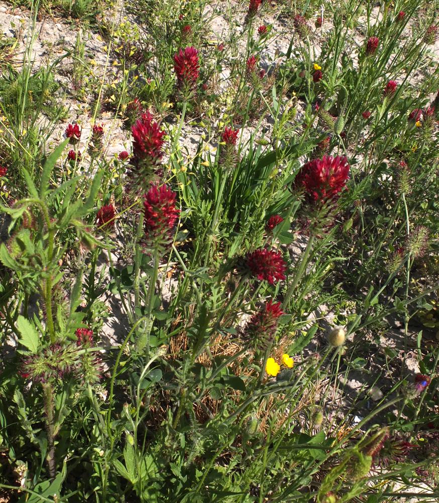 Inkarnat-Klee / Trifolium incarnatum