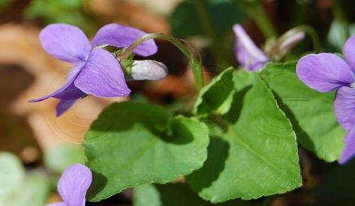 Common Dog-violet / Viola riviniana