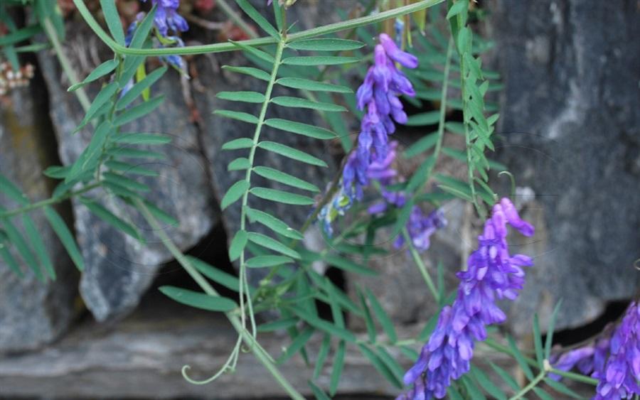 Schmalblättrige Vogel-Wicke / Vicia cracca ssp. tenuifolia